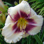 Picture of Hemerocallis Cranberry Coulis