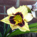 Picture of Hemerocallis Little Gypsy Vagabond