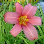 Picture of Hemerocallis Pink Damask