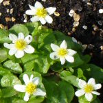 Picture of Caltha Palustrus Alba