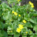 Picture of Caltha Polypetela