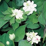 Picture of Houttuynia Cordata Plena