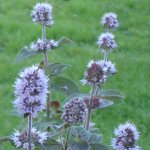 Picture of Mentha Aquatica