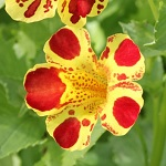 Picture of Mimulus Luteus Queens Prize