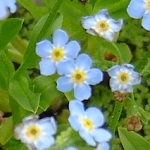 Picture of Myosotis Scorpioides
