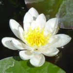 Picture of Nymphaea Alba