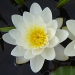 Picture of Nymphaea Marliacea Albida