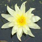 Picture of Nymphaea Charlene Strawn