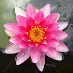Picture of Nymphaea Conqueror