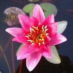 Picture of Nymphaea Esme