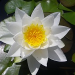 Picture of Nymphaea Gladstoniana