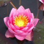 Picture of Nymphaea James Brydon