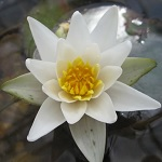 Picture of Nymphaea Pygmaea Alba