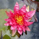 Picture of Nymphaea Red Spider