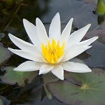Picture of Nymphaea Tetragon Alba