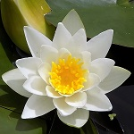 Picture of Nymphaea Hermine