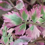 Picture of Oenanthe Japonica Flamingo
