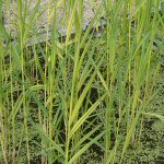 Picture of Phragmites Communis Variegatus