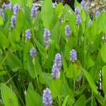 Picture of Pontederia Cordata