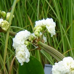 Picture of Sagittaria Flora Plena