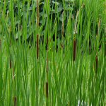 Picture of Typha Angustifolia