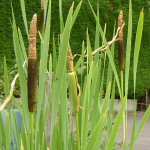 Picture of Typha Latifolia